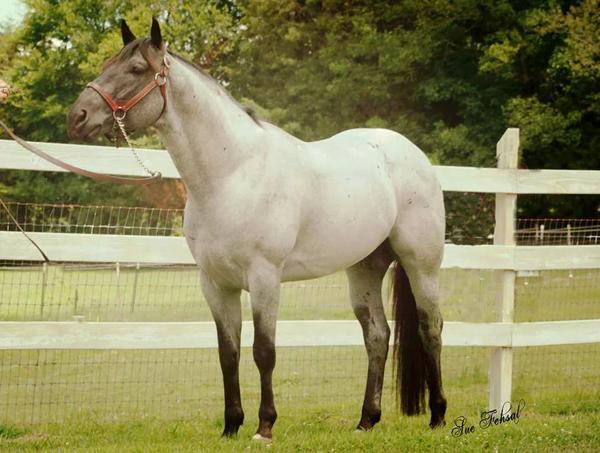 Jennifer Brown Horses, MJM Saltys Blue Coye